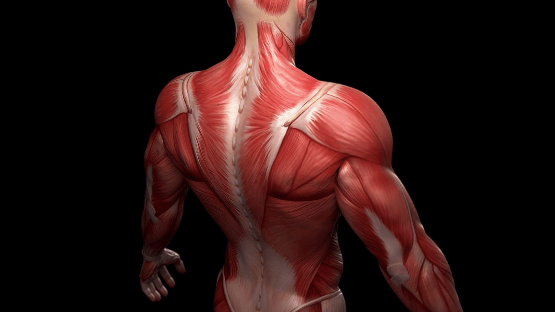 biggest muscles in the human body - HD1899×1068